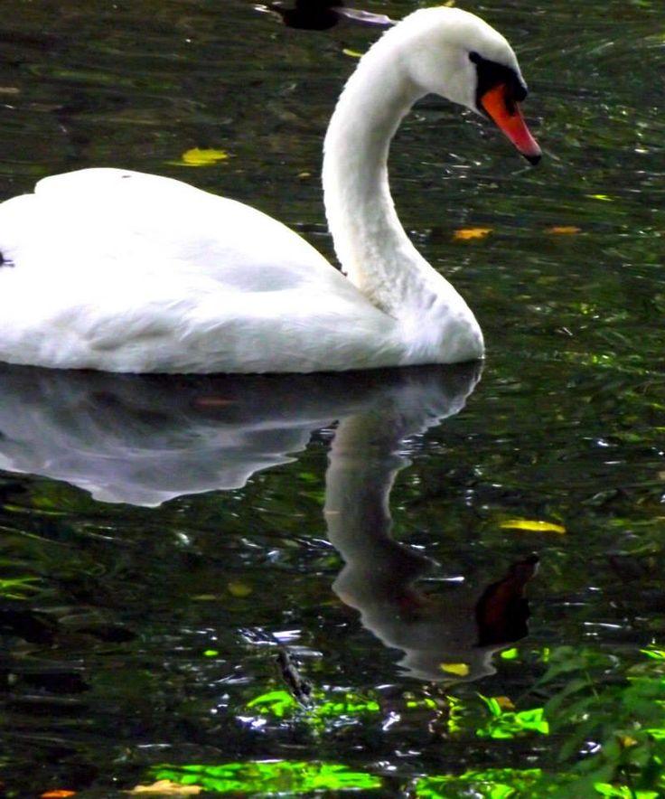 Swan Reflection. Hembygdsparken Ängelholm. #Ängelholm #Sweden #Autumn #Hembygdsparken
