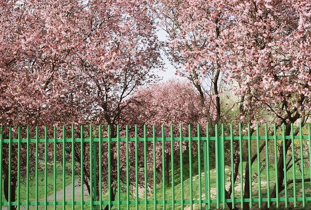 Mint-tea Time: Cherry Trees