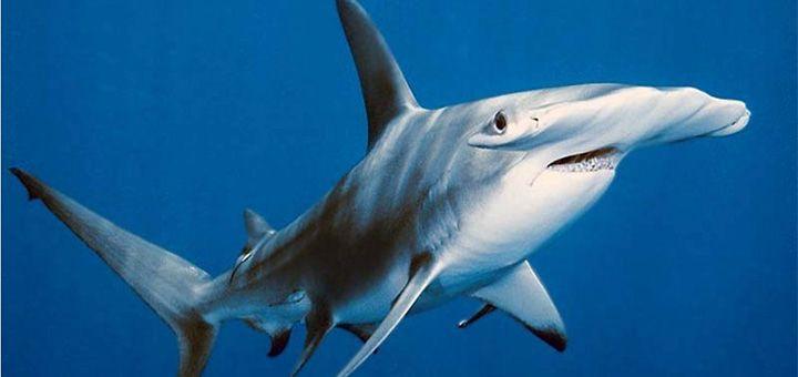 Редкие кадры: акула-молот против тигровой акулы - http://pixel.in.ua/archives/20147