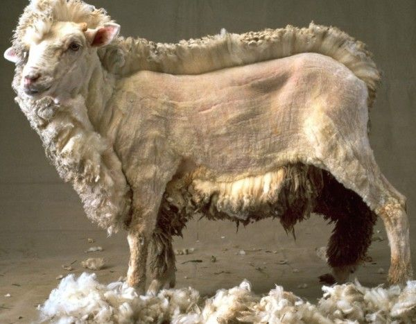 Half shorn sheep ... The amount of wool always amazes me. Love the llamas too!