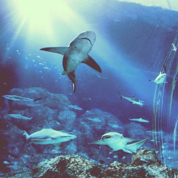 Sea aquarium singapore fish shark sharks in the wild for Fish tank sharks