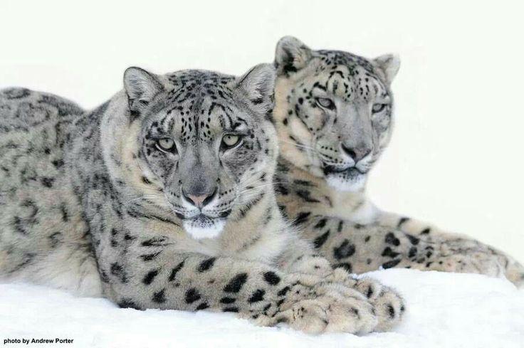 Beautiful Clouded Snow Leopard Mates.