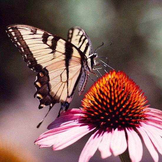 Top Plants for a Butterfly Garden:  1. Purple Coneflower  2. Salvia  3. Lantana