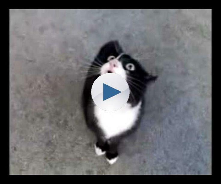 Speaking cat (pisica vorbitoare)