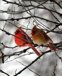 female and male cardinals - Bing Images