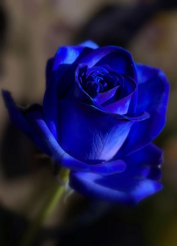 My blue Rose | Flickr - Photo Sharing!