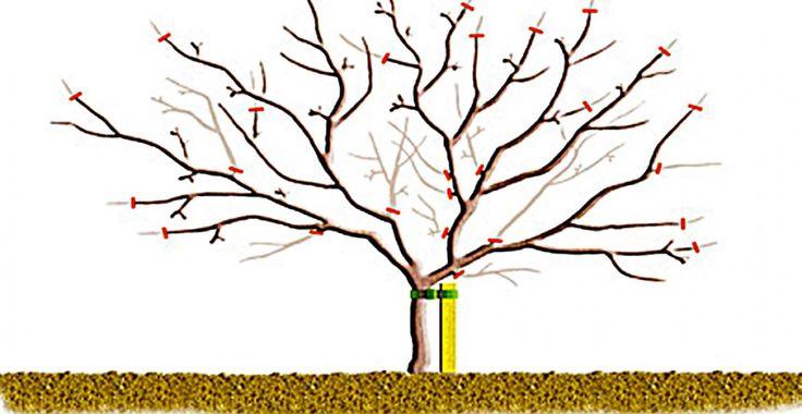 Cum se fac tăierile la pomii maturi | Paradis Verde