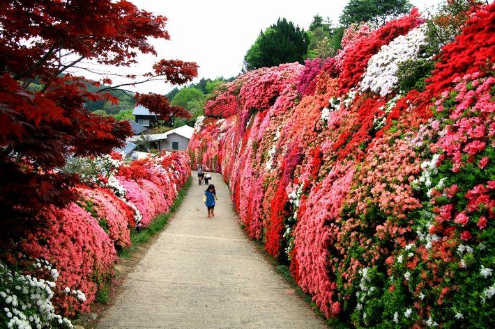Clause Of Omura Matsumoto Azalea Garden Today Kokemusu