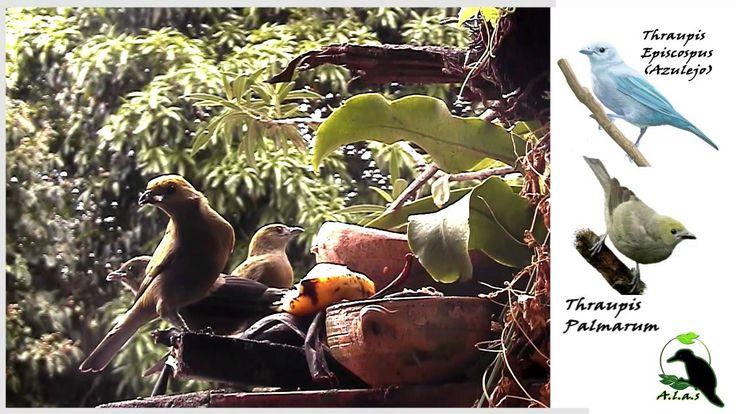 Azulejo alimentando pichón (Thraupis Palmarum)