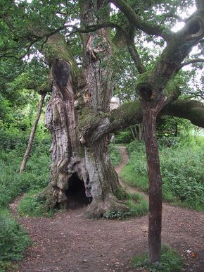Ancient oak tree in Birnam Wood. Said to be one of the last surviving trees in what was once a great forest. Shakespeare wrote of Birnam Wood in Macbeth.