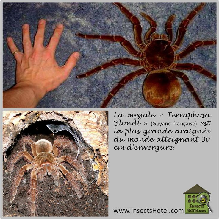 #Mygale #insectes #InsectHotel #insecte #nature #biologie #animal #animaux #faune www.InsectsHotel.com