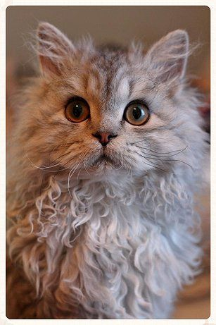 Selkirk Rex (from Chatterie du berger)