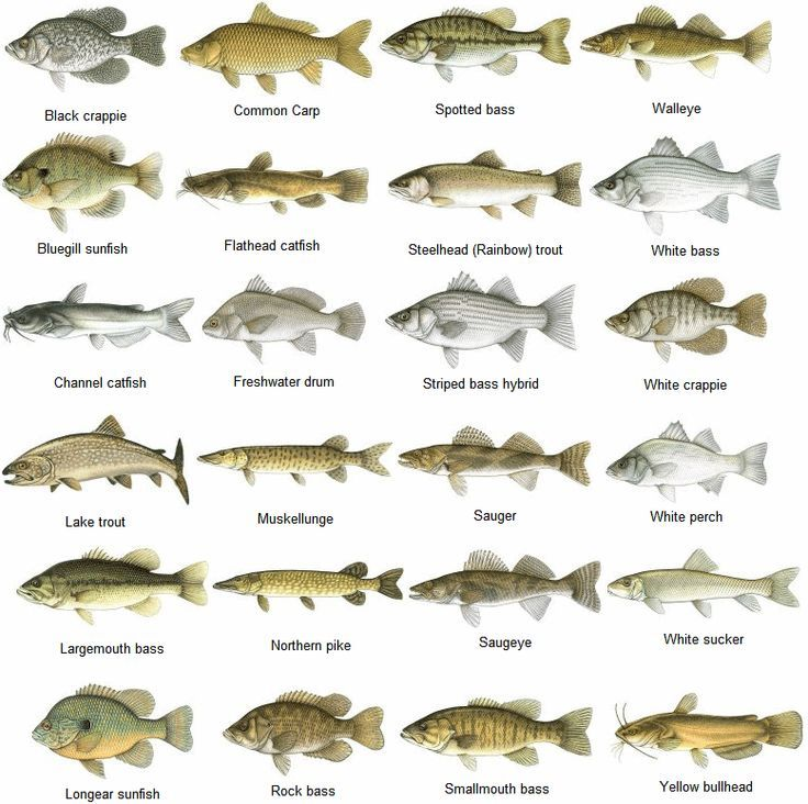 Nice fish identification chart clear print come visit us for Freshwater fish chart