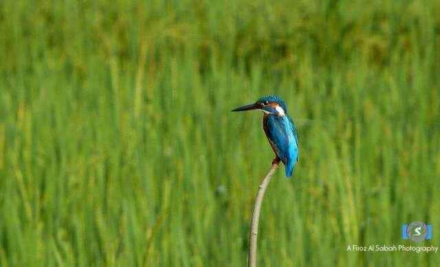 machrangaBangladesh, Machranga, Birds, Bees Eaters