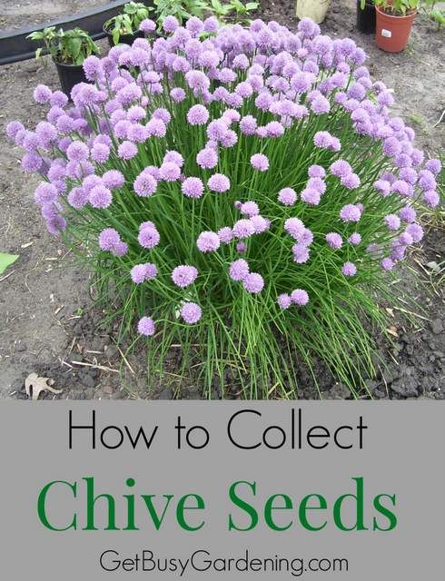 Chives are an easy to grow perennial herb. Not only are they delicious to eat, but chives also look gorgeous in the garden when they're in full bloom. But soon those flowers will fade and start to turn brown, which is a good thing if you want to collect chive seeds. Find out how here! | GetBusyGardening.com