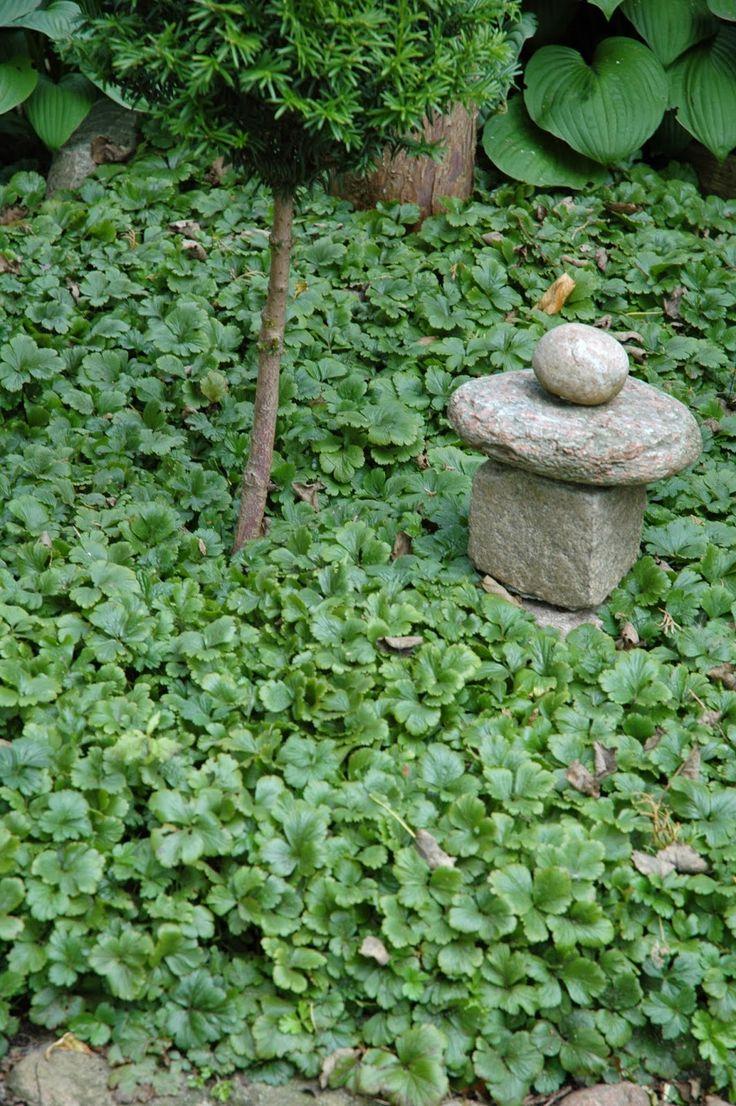 Waldsteinia ternata groundcoverWaldsteinia ternata (Goudaardbei) groenblijvend, sterke bodembedekker, zon en schaduw, groeit het liefst in iets vochthoudende grond