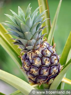 ananas ananas comosus pflanzen selber ziehen pinterest. Black Bedroom Furniture Sets. Home Design Ideas