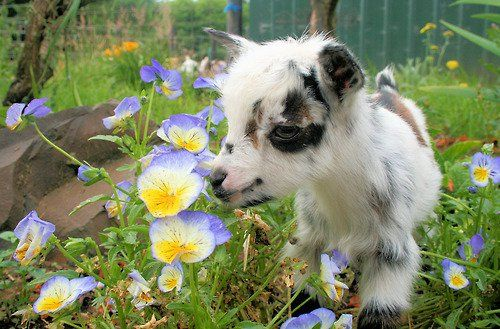 The Nigerian Dwarf goat is extremely popular as a pet and companion animal for people and other animals. They also offer tasty and nutritious raw milk and the goat manure is excellent for your garden! Gigi get this Please! Mini Goats, Cute Goats, Cute Baby Animals, Farm Animals, Wild Animals, Wow Photo, Nigerian Dwarf Goats, Cute Creatures, My Animal