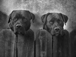 Mut and Jeff by Larry Marshall - I was out driving and saw these two beautiful dogs peeking over the fence. I circled back and took a few photos of them. They were both so sweet and waited very patiently while I was clicking away! Click on the image to enlarge.