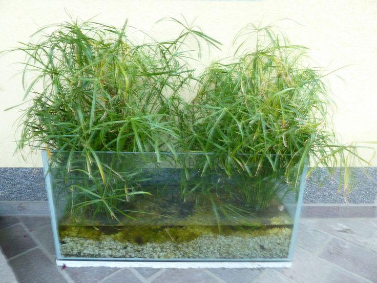 ein altes aquarium eine m glichkeit wasserpflanzen f r den garten oder auf die terasse. Black Bedroom Furniture Sets. Home Design Ideas