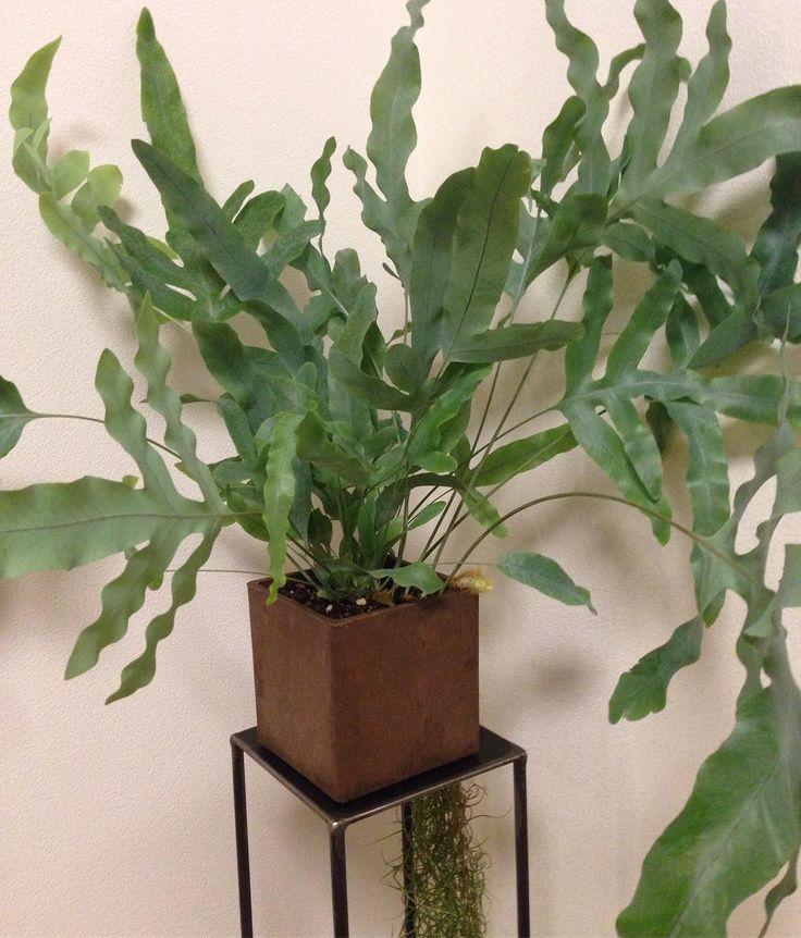 いいね!8件、コメント1件 ― Hideaki Kawaharaさん(@hk1225hk)のInstagramアカウント: 「ビカクに続いてまたもシダ植物が我が家に仲間入り。10軒も巡ってやっとビビッときた❗️ #フレボディウムオーレウムブルースター #フレボディウム#ブルースター  #シダ植物 #フルールサンク…」