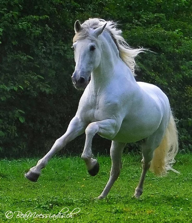 Beauty in motion. White horse running.