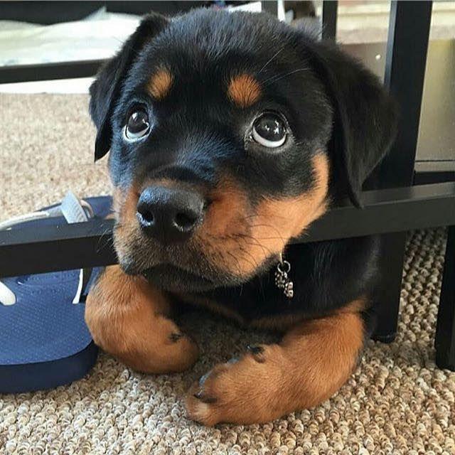 Resultado de imagen para Rottweiler    犬  入浴