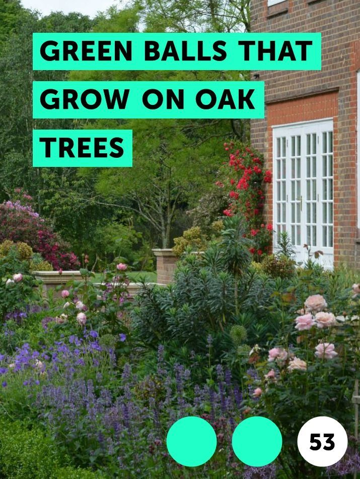 Learn Green Balls That Grow On Oak Trees How To Guides Tips And Tricks Plants Jasmine Plant Bermuda Grass