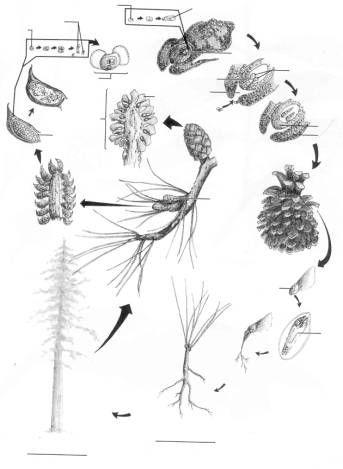 A Diagram Of A Conifer Cone Leaf Electrical Work Wiring Diagram