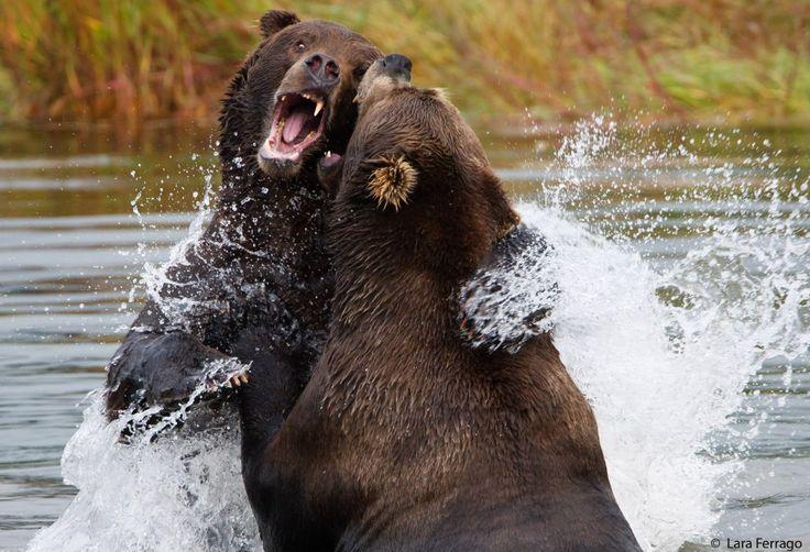 Boz ayılar kavga ediyor