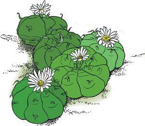 mescaline cactus - Google Search