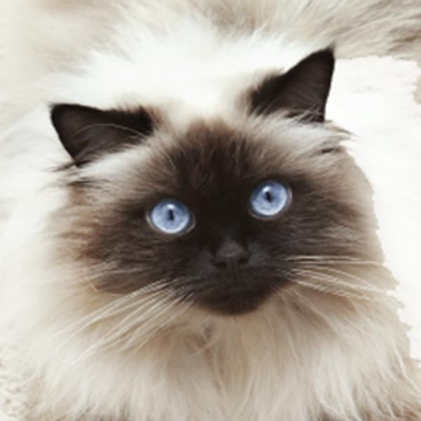 Cuidados del gato himalayo #gato #mascota #animales