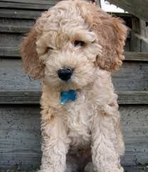 I'm pretty certain if I visited this breeder just once, I'd come home with a Spoodle!  Spoodle Puppies for Sale | Breeders for Miniature Spoodles and Labradoodles