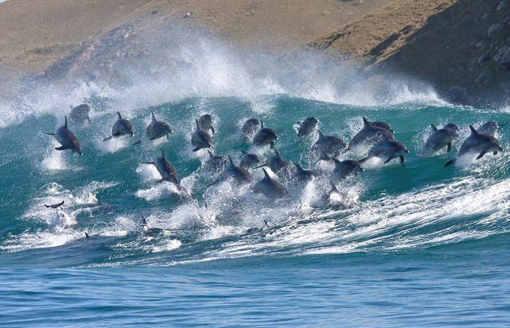 Wheee! Bottlenose dolphins riding the waves in South Africa!