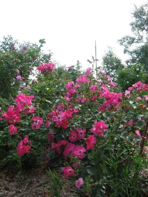 'William Booth', kanadensisk klätterros. Knopparna mörkröda, blommorna går från mediumrött i början till rosa senare. Blommar från juni till september. Höjd: 1,5-3 m.