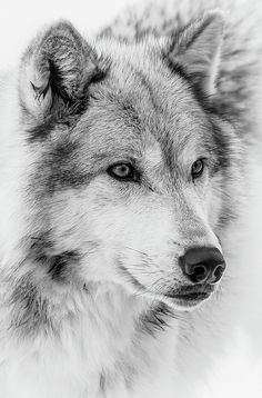 Wolf Face Close Up II