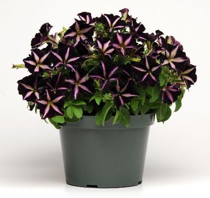Win Petunias | Tui Garden