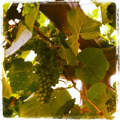 #Good things come to those who wait! #wine #grapes #sithonia #halkidiki #greece #nikiti