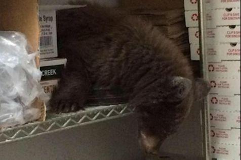 #unik Terluka, bayi beruang ini numpang tidur di #kedai #pizza. Bayi beruang ini sempat bikin heboh karyawan dan pelanggan Louie s Pizza di Colorado Springs. Dia memasuki kedai di siang bolong, membuat pengelola kedai terpaksa mengungsikan pelanggan. Dilansir The Frisky (15/9), anak beruang ini masuk melalui pintu depan dan langsung menuju ke ruang penyimpanan bahan makanan. Ternyata beruang berjenis kelamin betina ini tidak berniat bikin keribut