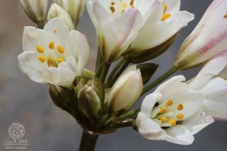 Fotografia de capa Allium massaessylum - do Jardim Botânico
