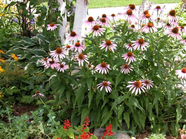 Growing and Caring for Purple Coneflowers (Echinacea)