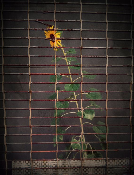 Sunflower Behind Bars Photography Print 12x18 Multiple Sizes