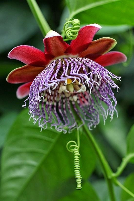 ✯ Grenadilla Flower - Passiflore