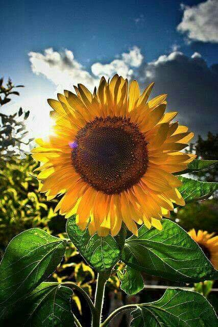 Succulent Sunflower