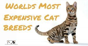 Whats The Oldest Breed Of Cat