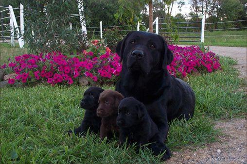 English Labrador Retrievers - love those big heads!