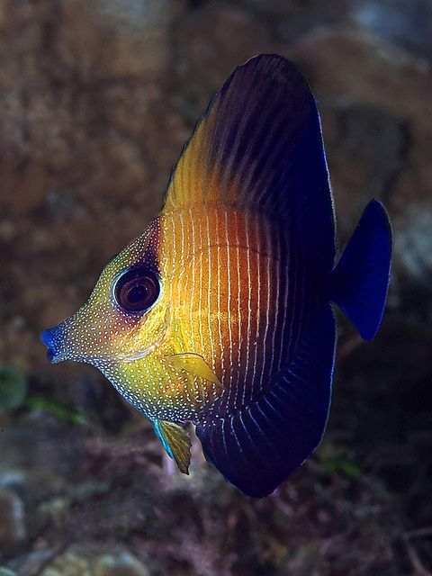 Now, this is a funny looking fish! Juvenile Brushtail Tang by Doug.Deep