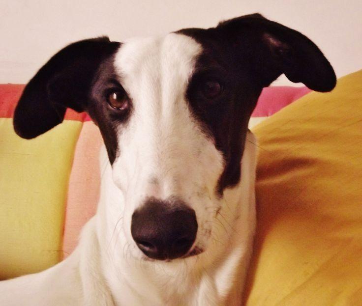 Sweet Greyhound... love her!