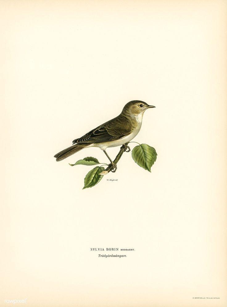 Garden warbler (Sylvia borin) illustrated by the von Wright brothers. Digitally enhanced from our own 1929 folio version of Svenska Fåglar Efter Naturen Och Pa Sten Ritade.
