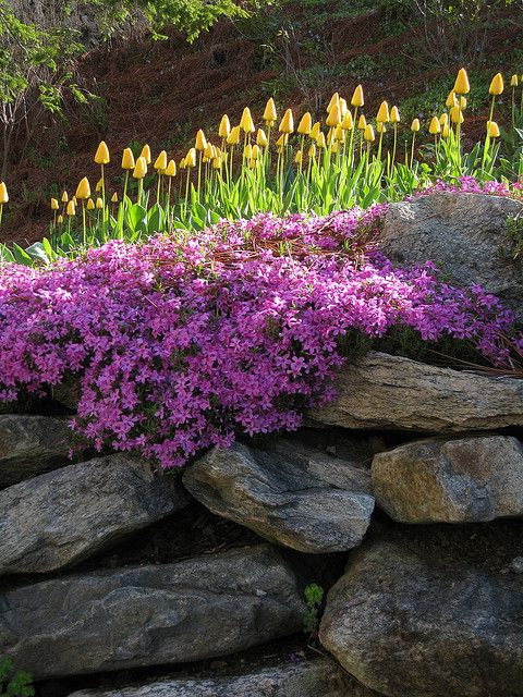 spring purple and yellow blooms at a dry stacked stone wall 1 from - Rock Wall Garden Designs